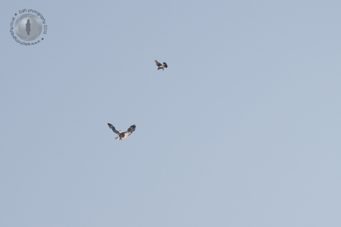 Peregrine chasing off a buzzard