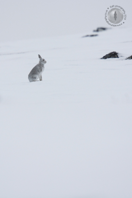 Mountain hare concentrating