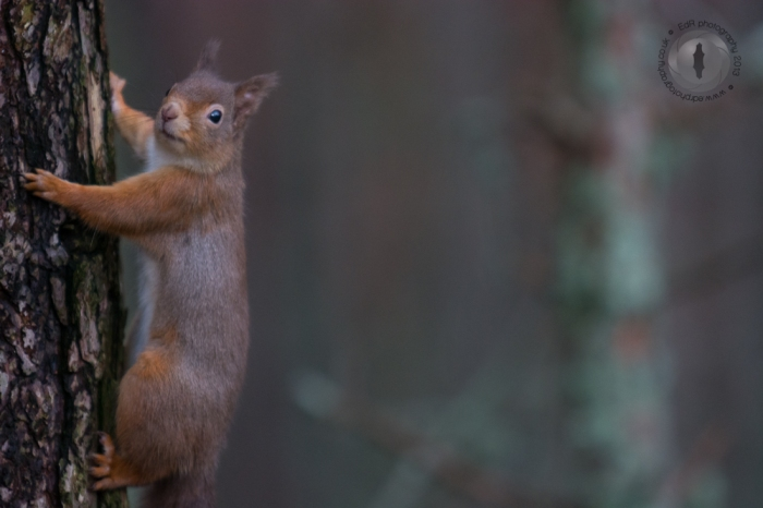 Red squirrel taken by surprise
