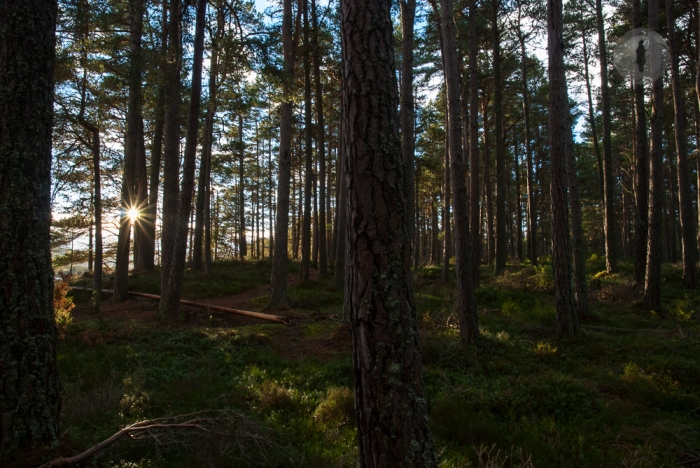 Mild winter so far in the Caledonian pine forests