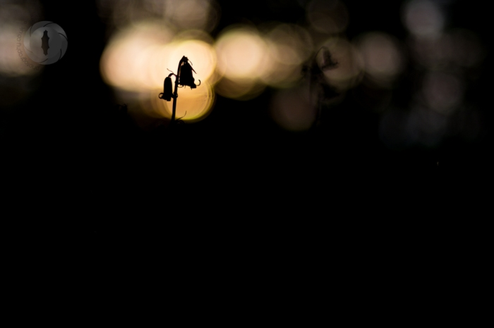 Bluebell silhouette